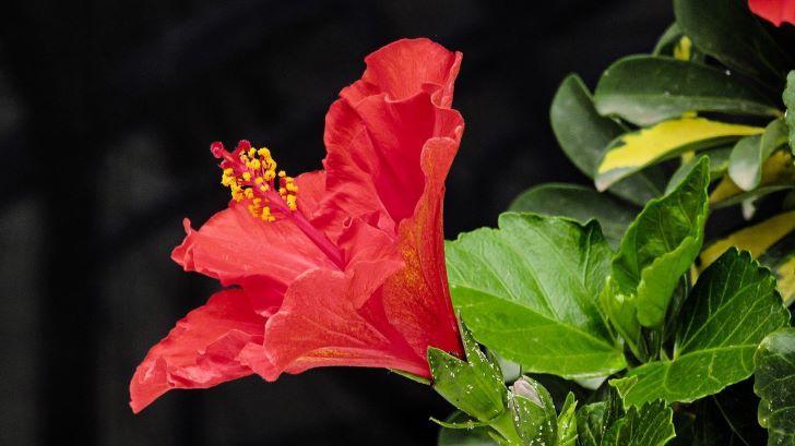 ayurvedic flower